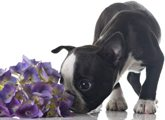 Puppy smelling purple flowers, no pet odors