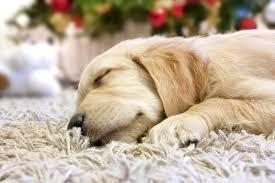 Golden Retriever sleeping on carpet cleaned with organic cleaners