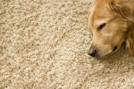 Dog sleeping on carpet that was cleaned using pet friendly treatment