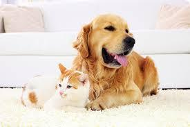 Dog and cat resting together on carpet cleaned with pet friendly organic chemicals