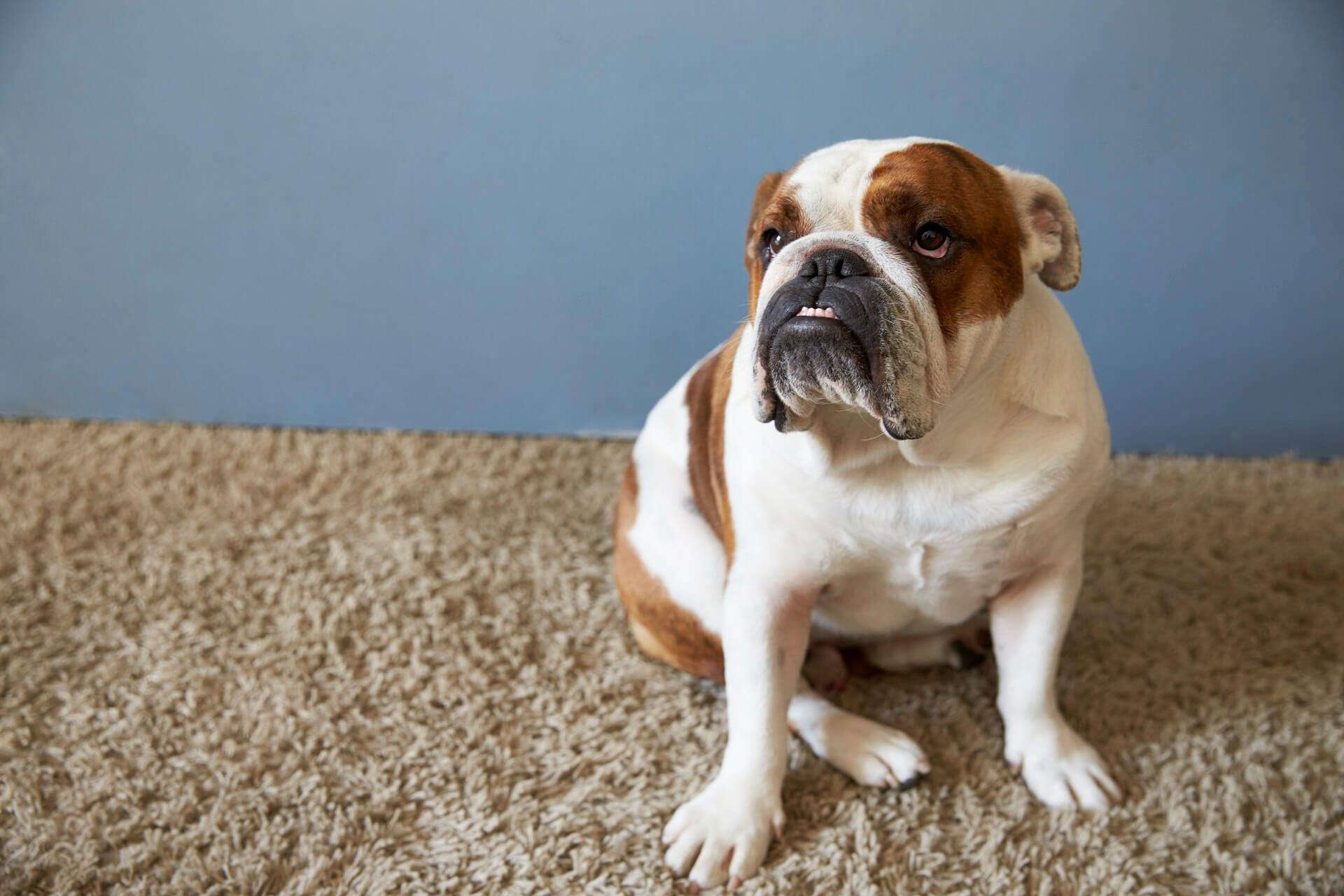 brittish bulldog sitting on carpet