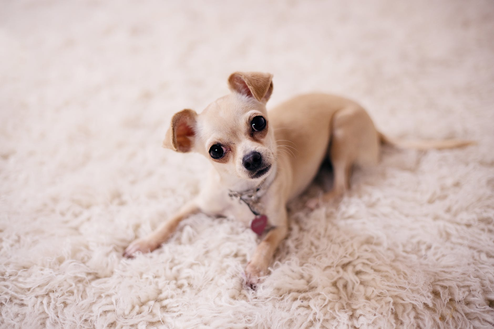 Carpet Treatments for Pet Stains That Go Beneath the Surface